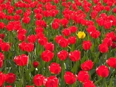 single_yellow_tulip_in_a_field_of_red_sm